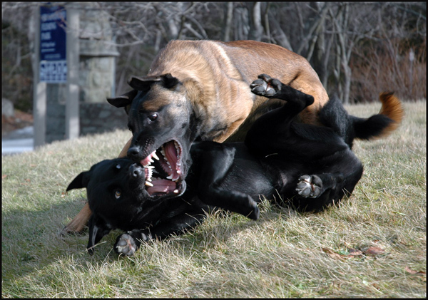dog aggression