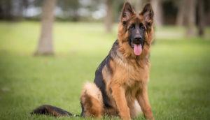 German Shepherd Dog Training - GSD Training - Orlando FL